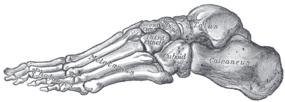 Скелет на стъпалото